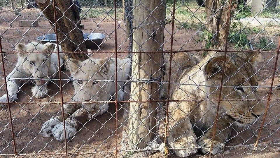One of these big cats hooked onto my friends shoe and pulled him to the ground.